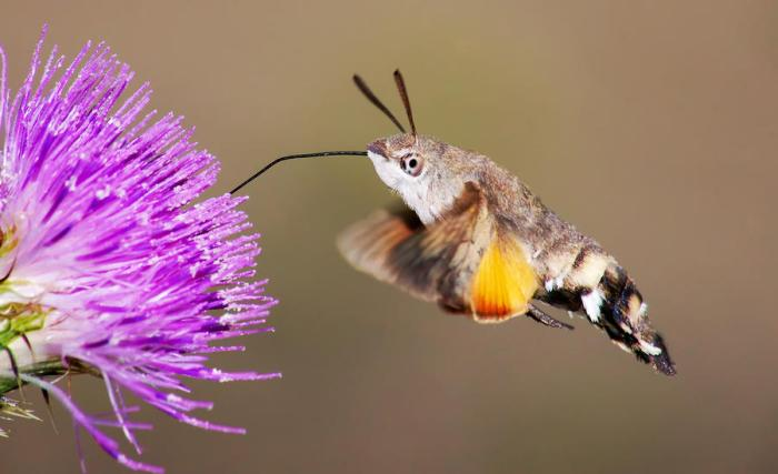 hummingbird-hawk-moth-mircea-costina